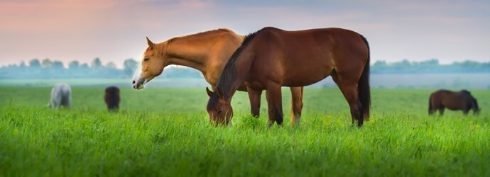 Equine Gastric Ulcers: Causes, Symptoms & Management