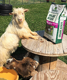 Goat Climbing on Table to Eat Standlee Product