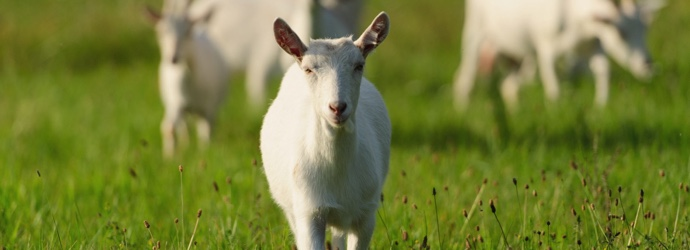 Feeding Goats: What you need to know about forages and winter