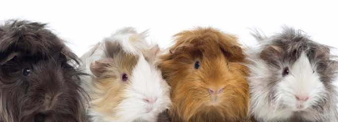 Hamsters, Gerbils, and Guinea Pigs – What's the Difference?