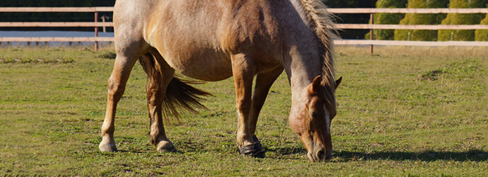 Issues with Horse Obesity and What It Leads To - Managing Forage Part 1