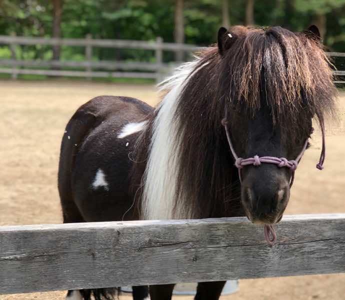 Miniature horse named Charlie