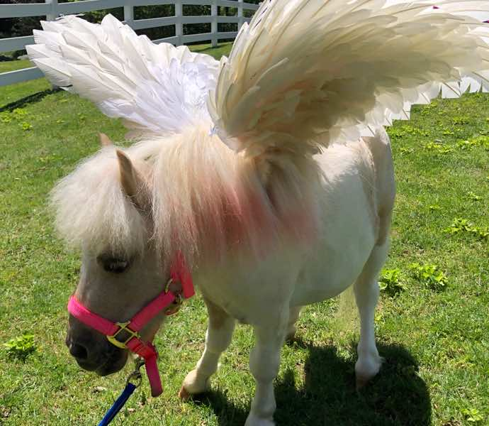 White miniature therapy horse with wings