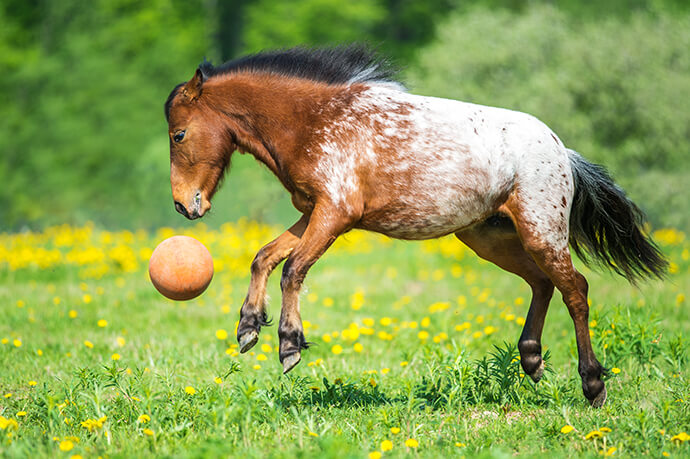 Young Horse playing with ball in field.