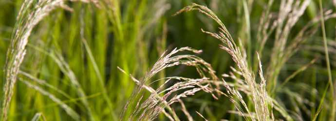 What Is Teff Grass And What Makes It Different From Other Forages?